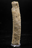 06139 - Beautiful 1.66 Inch Myliobatis Stingray Dental Plate Paleocene