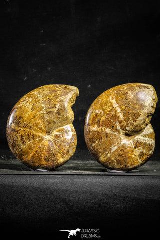 22226 - Nice Collection of 2 Agatized & Polished Cleoniceras sp Lower Cretaceous Ammonite Madagascar