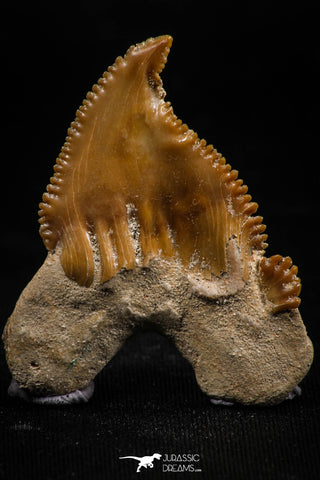 06147 - Super Rare Pathologically Deformed 1.53 Inch Palaeocarcharodon orientalis (Pygmy white Shark) Tooth