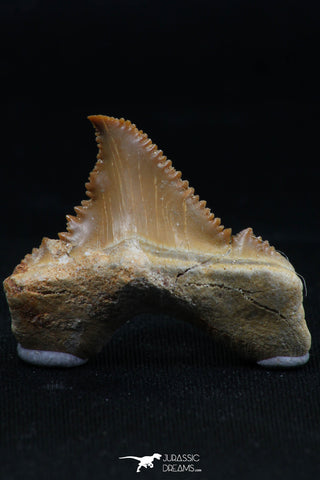 06148 - Super Rare Pathologically Deformed 1.09 Inch Palaeocarcharodon orientalis (Pygmy white Shark) Tooth