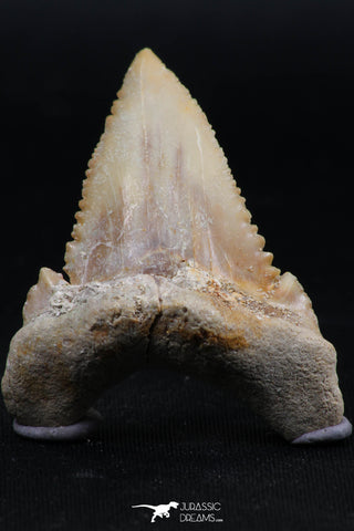 06149 - Beautiful 1.64 Inch Palaeocarcharodon orientalis (Pygmy white Shark) Tooth