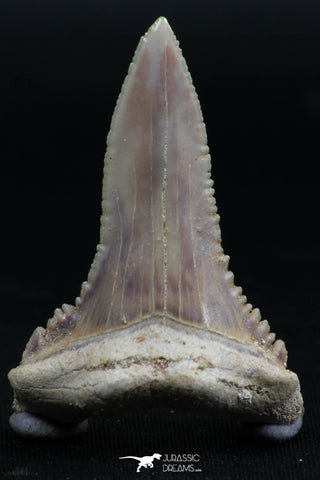 06150 - Top Beautiful 1.72 Inch Palaeocarcharodon orientalis (Pygmy white Shark) Tooth