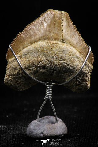 06156 - Small Wire Wrapped 0.86 Inch Squalicorax pristodontus (Crow Shark) Tooth Pendant