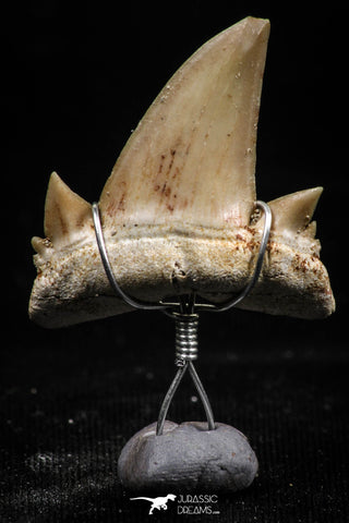06158 - Small Wire Wrapped 0.86 Inch Cretolamna aschersoni (mackerel shark) Tooth Pendant