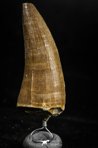 06168 -  Small Wire Wrapped 1.35 Inch Eremiasaurus heterodontus (Mosasaur) Tooth Pendant