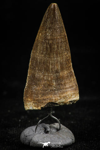 06169 - Small Wire Wrapped 1.09 Inch Eremiasaurus heterodontus (Mosasaur) Tooth Pendant