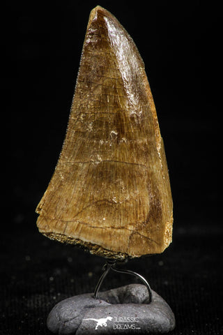 06170 -  Small Wire Wrapped 1.18 Inch Mosasaur (Prognathodon anceps) Tooth Pendant