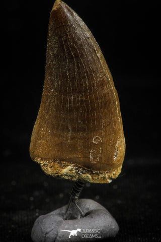 06171 -  Small Wire Wrapped 1.24 Inch Mosasaur (Prognathodon anceps) Tooth Pendant