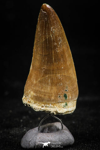06172 - Small Wire Wrapped 1.21 Inch Mosasaur (Prognathodon anceps) Tooth Pendant