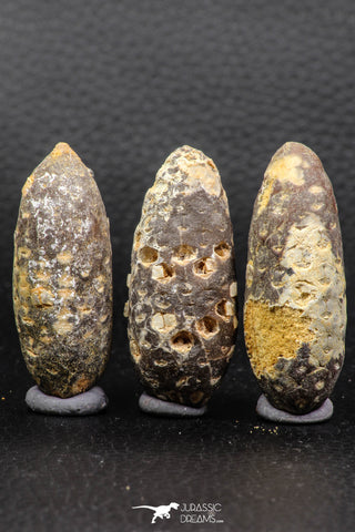 05446 - Great Collection of 3 Fossilized Silicified Pine Cones EQUICALASTROBUS Eocene Sahara Desert