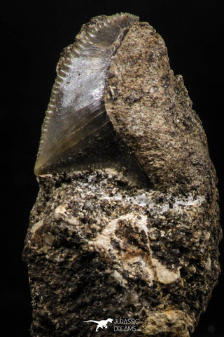 06184 - Nicely Preserved 0.53 Inch Black Squalicorax pristodontus (Crow Shark) Tooth in Natural Matrix