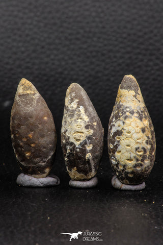 05448 - Great Collection of 3 Fossilized Silicified Pine Cones EQUICALASTROBUS Eocene Sahara Desert
