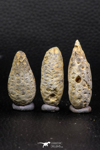 05449 - Great Collection of 3 Fossilized Silicified Pine Cones EQUICALASTROBUS Eocene Sahara Desert