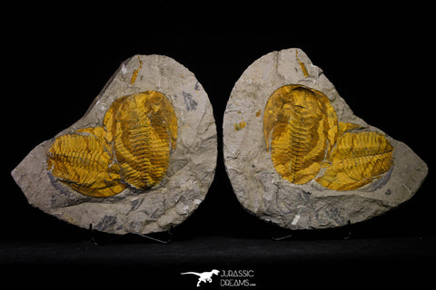 20846 - Finest Grade Association 2 Cambropallas telesto Middle Cambrian Trilobites