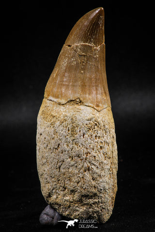 06214 - Top Huge Rooted 3.23 Inch Mosasaur (Prognathodon anceps) Tooth