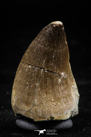 06223 - Well Preserved 1.18 Inch Mosasaur (Prognathodon anceps) Tooth