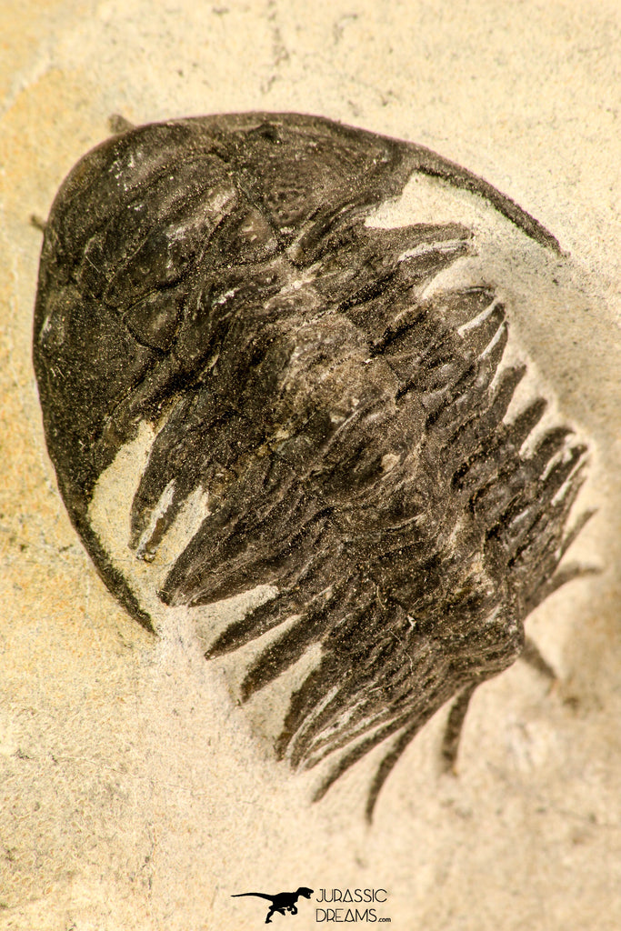 30623 - Top Rare 1.47 Inch Pilletopeltis sp Lower Devonian Trilobite - Morocco