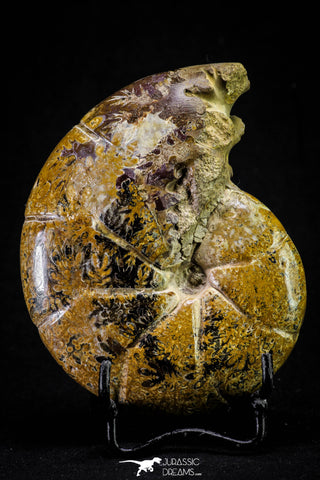 20868 - Nice Agatized & Polished 3.96 Inch Cleoniceras sp Lower Cretaceous Ammonite Madagascar