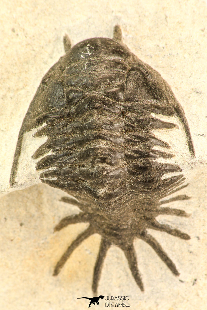 30640 - Top Rare 1.47 Inch Pilletopeltis sp Lower Devonian Trilobite - Morocco