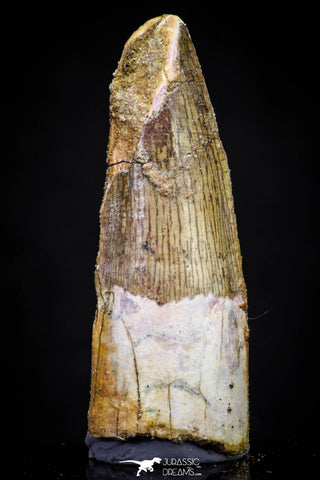 20877 - Well Preserved 2.93 Inch Spinosaurus Dinosaur Tooth Cretaceous
