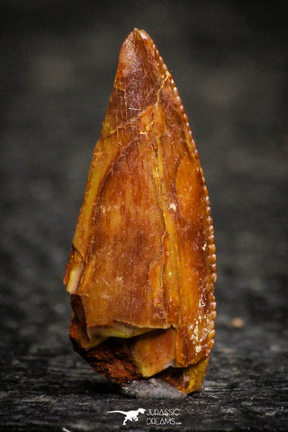 22307 - Top Beautiful 0.53 Inch Serrated Abelisaur Dinosaur Tooth Cretaceous KemKem Beds
