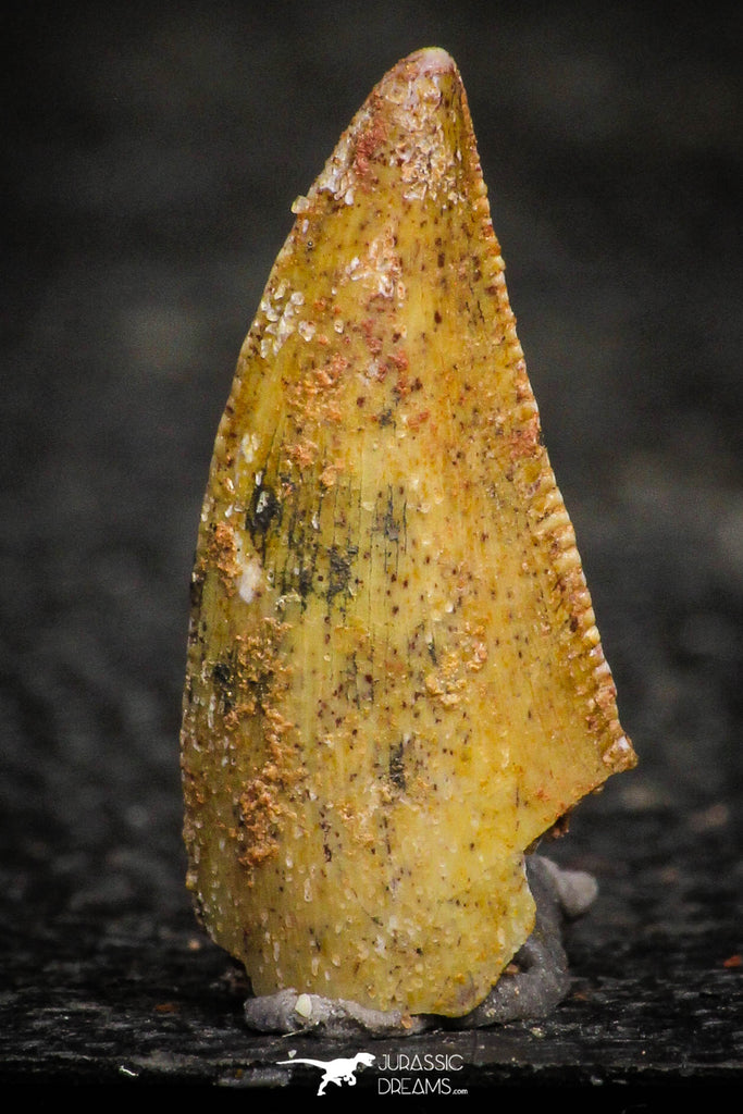 22311 - Well Preserved 0.71 Inch Serrated Abelisaur Dinosaur Tooth Cretaceous KemKem Beds