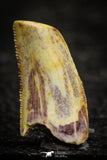 22314 - Beautiful 0.72 Inch Abelisaur Dinosaur Tooth Cretaceous KemKem Beds