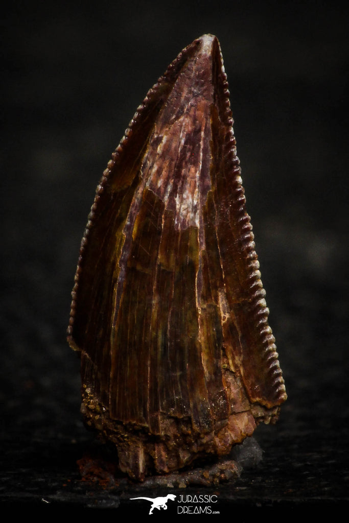 22319 - Well Preserved 0.72 Inch Serrated Abelisaur Dinosaur Tooth Cretaceous KemKem Beds