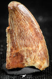 06300 - Top Beautiful 0.63 Inch Abelisaur Dinosaur Tooth Cretaceous KemKem Beds