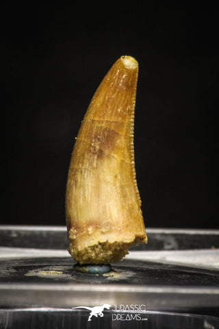 10003 - Top Quality 0.73 Inch Abelisaur Serrated Dinosaur Tooth Cretaceous KemKem