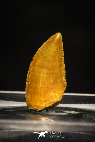 10004 - Top Quality 0.61 Inch Abelisaur Serrated Dinosaur Tooth Cretaceous KemKem