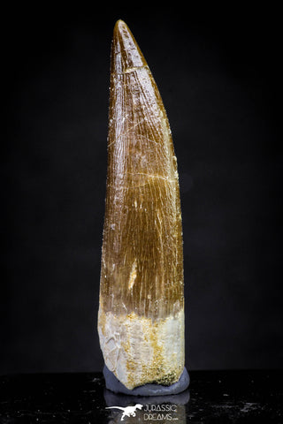 20903 - Nicely Preserved 1.95 Inch Partially Rooted Elasmosaur (Zarafasaura oceanis) Tooth