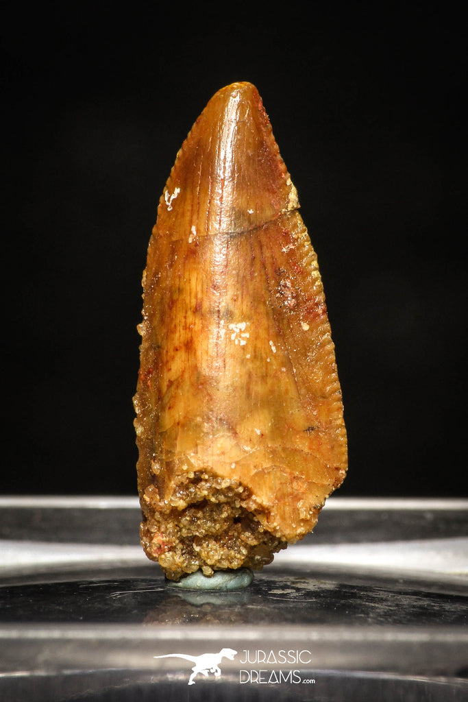 10009 - Top Quality 0.84 Inch Abelisaur Serrated Dinosaur Tooth Cretaceous KemKem