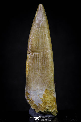 20908 - Nicely Preserved 2.20 Inch Partially Rooted Elasmosaur (Zarafasaura oceanis) Tooth