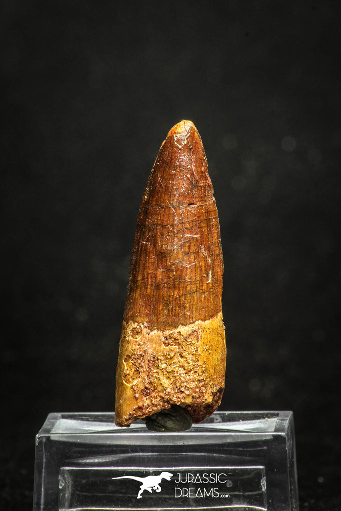 20011 - Top Beautiful 1.89 Inch Spinosaurus Dinosaur Tooth Cretaceous KemKem