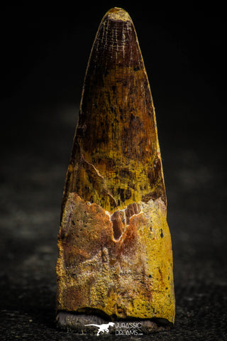 22362 - Well Preserved 2.01 Inch Spinosaurus Dinosaur Tooth Cretaceous
