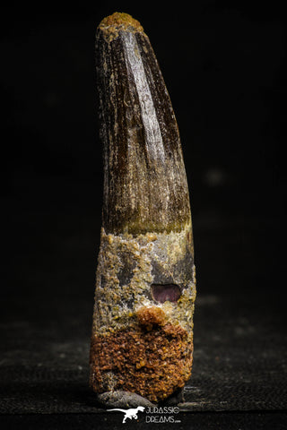 22367 - Nicely Preserved 3.46 Inch Spinosaurus Dinosaur Tooth Cretaceous