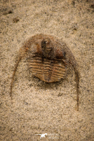 07862 - Top Quality 0.63 Inch Onnia sp Ordovician Trilobite