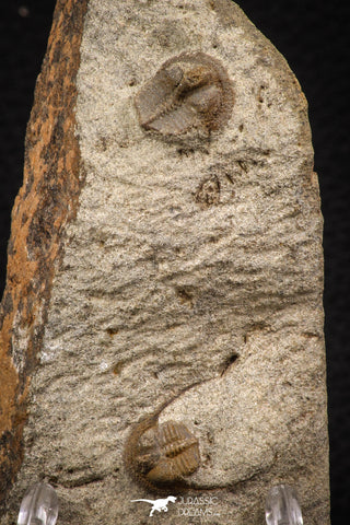 07864 - Nicely Preserved Mass Mortality Plate 2 Onnia sp Ordovician Trilobites