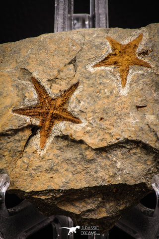 07875 - Top Beautiful Association 2 Petraster Ordovician Brittlestars Ktaoua Fm