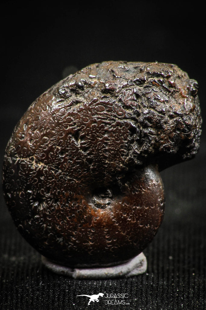 06345 - Beautiful Pyritized 0.83 Inch Phylloceras Lower Cretaceous Ammonites