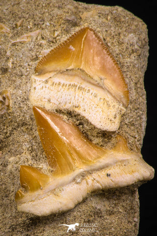 06752 - Finest Association Cretolamna (mackerel shark) Tooth + Squalicorax (Crow Shark) Tooth in Matrix