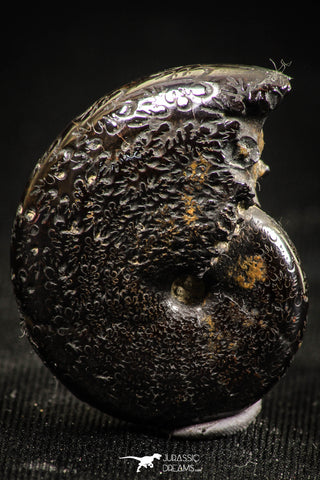 06348 - Stunning Pyritized 1.06 Inch Phylloceras Lower Cretaceous Ammonites