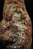 06352 - Rare Spinosaurus - Crocodile 1.99 Inch Coprolite with Digested Fish Scales