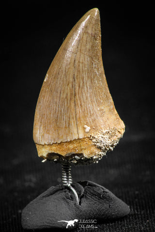 06366 - Small Wire Wrapped 0.93 Inch Mosasaur (Prognathodon anceps) Tooth Pendant