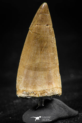 06367 -  Small Wire Wrapped 1.20 Inch Eremiasaurus heterodontus (Mosasaur) Tooth Pendant