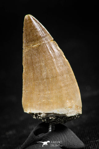 06368 -  Small Wire Wrapped 1.08 Inch Mosasaur (Prognathodon anceps) Tooth Pendant