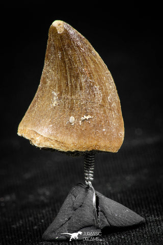 06369 -  Small Wire Wrapped 0.78 Inch Mosasaur (Prognathodon anceps) Tooth Pendant