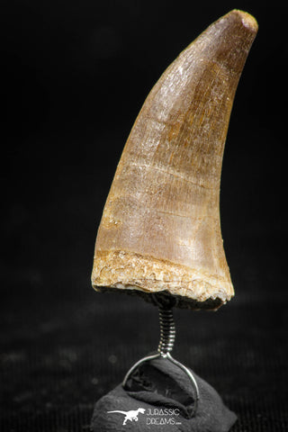 06370 -  Small Wire Wrapped 1.20 Inch Eremiasaurus heterodontus (Mosasaur) Tooth Pendant