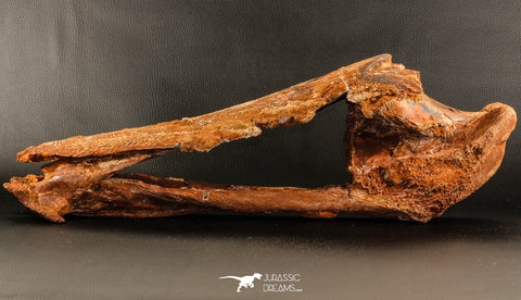06216 - Museum Grade Unpublished 20.08 Inch Catfish Skull Cretaceous KemKem Beds